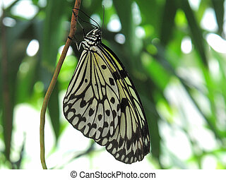 Paper Kite Butterfly on a leaf