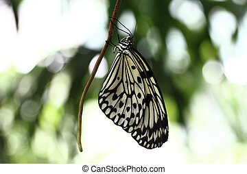 Paper Kite Butterfly - A Paper Kite butterfly hanging from a...