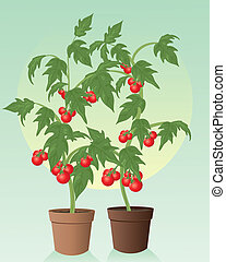 tomatoes - an illustration of two healthy organic tomato...