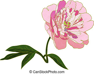 Vector peony flower - Vector peony flower isolated on white...