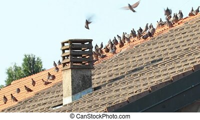 pigeons - pigeon flock on a roof