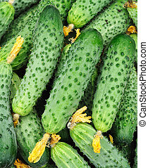 Cucumbers in bulk - fresh cucumbers in bulk creating...