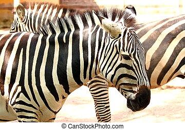 Striped zebra (Equus quagga) - A plains zebra (Equus quagga)...