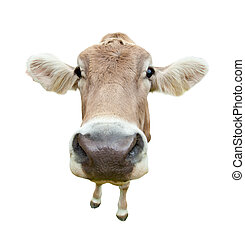 Funny cow head portrait, isolated on white background