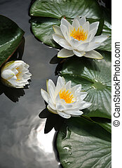 Blossom white lotus flower in pond