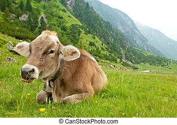 Alpine cow - Cow relaxing in alpine meadow