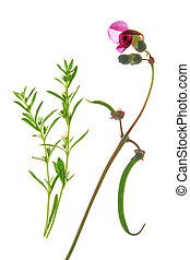 Flowering bush bean and winter savory against a white...