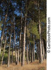 bosque, pinos  - bosque, pinos