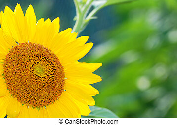 beautiful sunflowers - The big beautiful sunflowers outdoors...