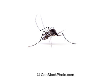tiger mosquito - Animal series asian tiger mosquito ....