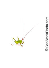 katydid - Animal series katydid available for clipping work...