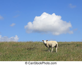 Young house sheep on the pasture - House sheep also be used...