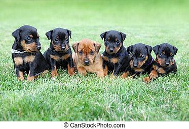 a, miniatura, Pinscher, Filhotes cachorro
