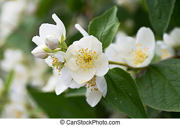Fragrant flowers - Twig with white flowers of the...