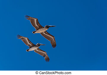 Pelicans flying in formation - Two pelicans flying in...
