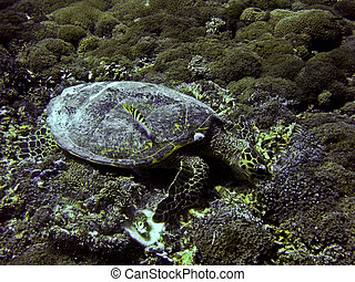 Green sea turtle underwater on Gili Trawangan, Indonesia -...