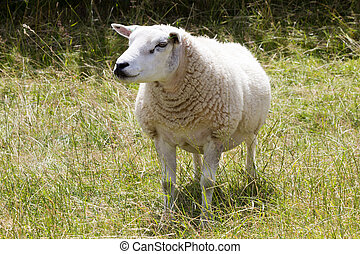 Sheep - A sheep in a meadow field