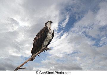 Osprey Perched on Branch - Osprey (Pandion haliaetus)...