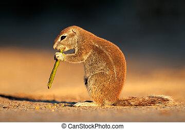 Feeding ground squirrel (Xerus inaurus) in late afternoon...