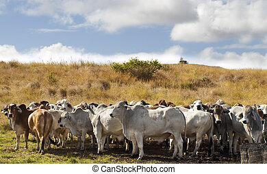 Herd of brahman beef cattle cows in rural Queensland
