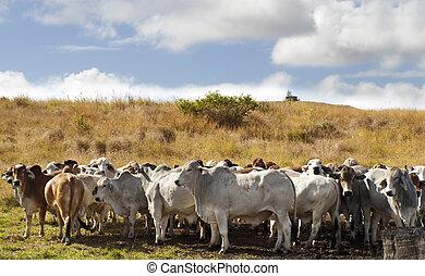 manada, brahman, carne de vaca, ganado, vacas
