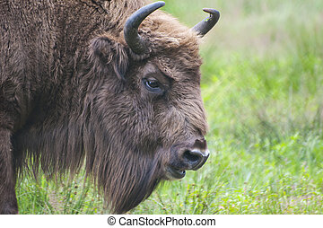 European bison - head shot of rare European bison Bison...
