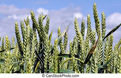 cereal, trigo, campo
