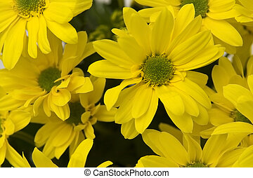 Yellow marguerites - Big, yellow marguerites on a white...
