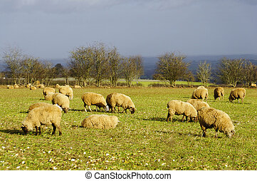 Sheeps in a field in England, winter season