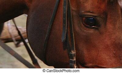 Horse, closeup
