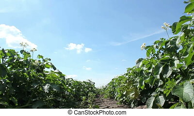 Potato Plants - Potato plants on a sunny summer day.
