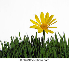 spring daisy flower - daisy flower growing from lawn first...