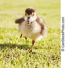 Duckling on the run - Duckling running through park