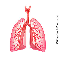 Lungs - pulmonary system Front view, isolated on white