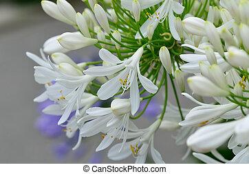 flores,  Agapanthus