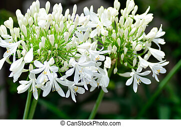 White Agapanthus flowers. - Agapanthus flowers. The flower...