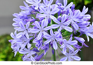 Agapanthus flowers. The flower of summer which attached the...