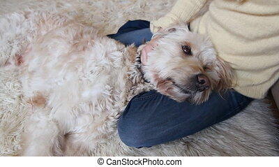 Dog in owners lap - A cute labradoodle rests in its owners...