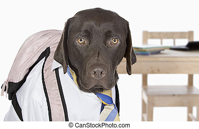 Labrador Going Back to School - Young Chocolate Labrador...