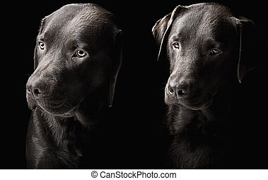 Two handsome chocolate labradors - Low Key Shot of Two...