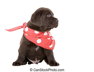 Chocolate Labrador Puppy in Neck Scarf - Cute Chocolate...
