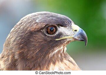 rojo-atado, halcón