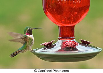 Broad-tailed adult male hummingbird
