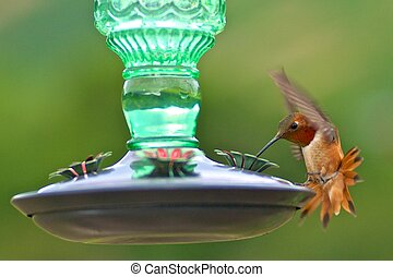 Rufous Hummingbird - An adult male rufous hummingbird at a...