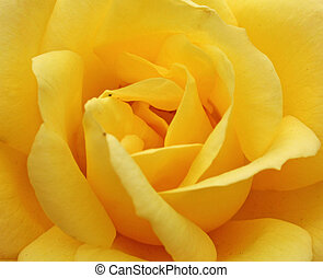 yellow rose - stunning yellow rose