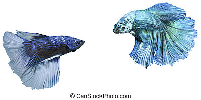 fighting fish - betta, siamese fighting fish isolated on...