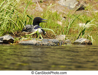 Loon on Her Nest - A common loon sits on her nest on a...