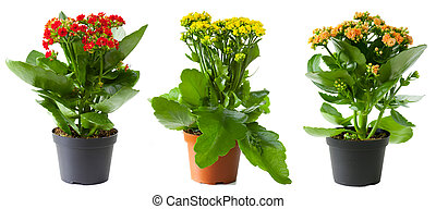 Three flowers of kalanchoe in pots isolated on white