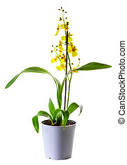 Yellow Oncidium orchid in flowerpot isolated on white