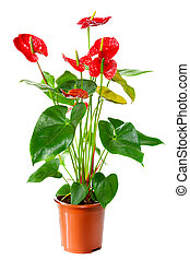 Blossoming plant of Anthurium/Flamingo flowers in flowerpot...